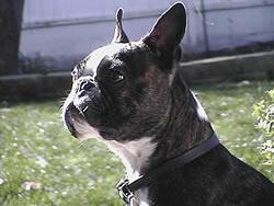 Boston terrier puppies colorado