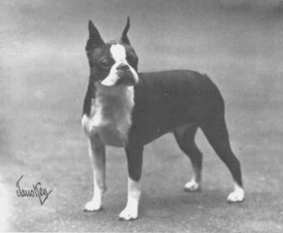 The Boston Terrier Club Of America