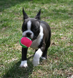 Boston terrier puppies in usa